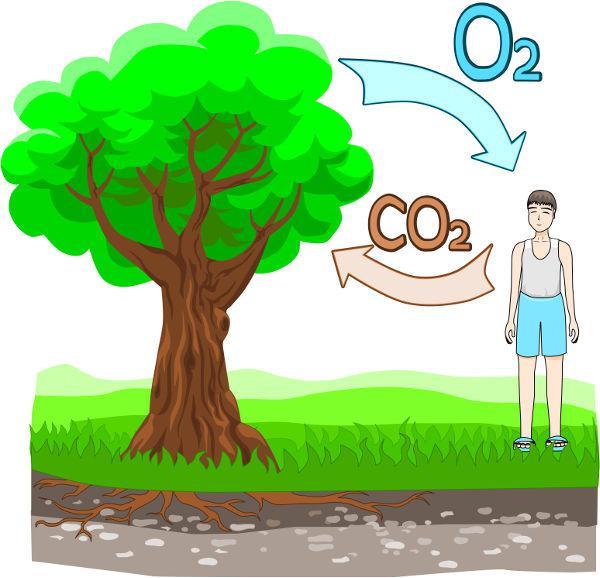 O ciclo do oxigênio está intimamente relacionado com o ciclo do carbono.