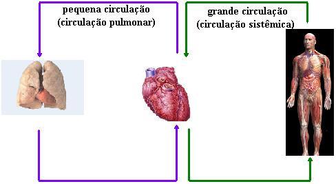 O coração participa da pequena e da grande circulação.