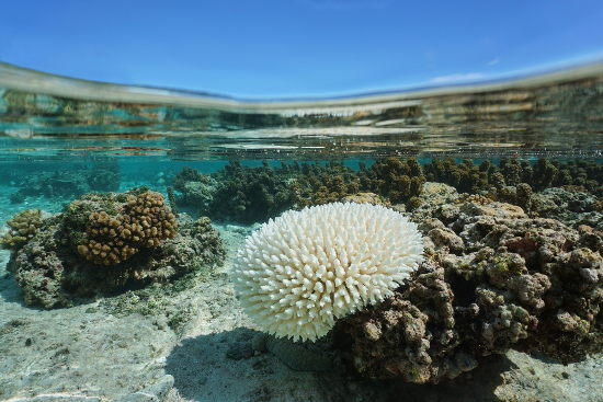 Um coral branqueado torna-se mais vulnerável a doenças.