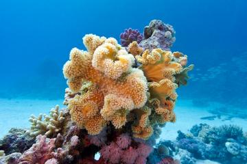 O coral é um exemplo de colônia isomorfa