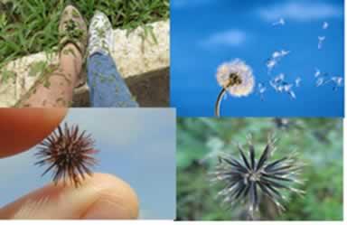 Plantas que possuem estruturas para a disseminação de suas sementes.