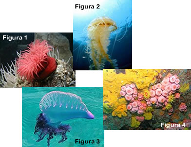 Figura 1: anêmona-do-mar; Figura 2: água-viva; Figura 3: caravela-portuguesa; Figura 4: corais