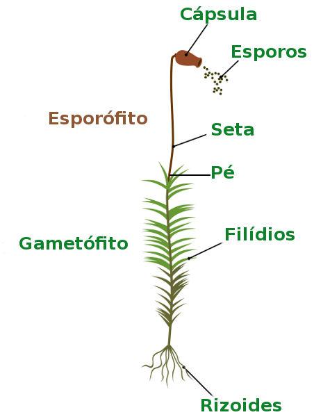 Observe as principais partes do esporófito na figura acima.