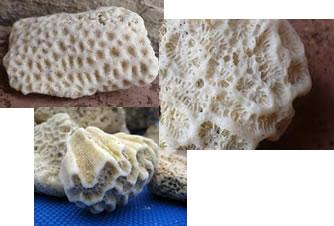 Figura mostrando o esqueleto de calcário de alguns corais