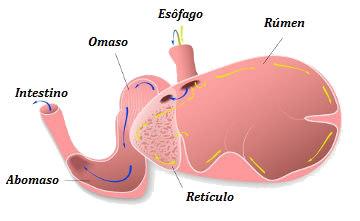 Observe as partes do estômago de um ruminante