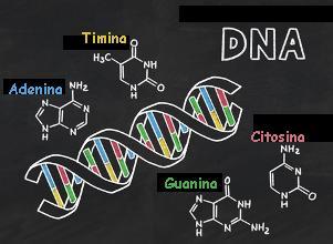 O DNA é formado por fosfato, desoxirribose e bases nitrogenadas. Observe que cada base se liga apenas à outra base específica