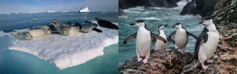 A fauna da Antártida é composta por diversas espécies de animais adaptados ao frio extremo