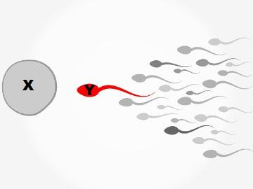 Se o espermatozoide Y fecundar o óvulo, teremos uma menina ou um menino? A resposta está no texto a seguir