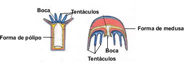 Figura mostrando as formas de pólipo e de medusa