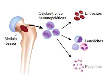 Observe que as células-tronco hematopoiéticas dão origem às células sanguíneas