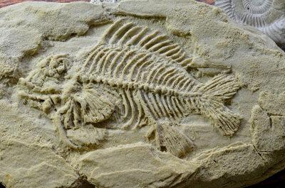 Os fósseis são evidências do processo evolutivo