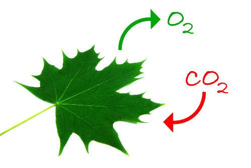 Na fotossíntese, o gás carbônico é utilizado, e o oxigênio é liberado para o meio.