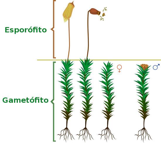 Observe a fase de gametófito do musgo e a fase de esporófito crescendo sobre o gametófito feminino.