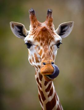 A girafa é um herbívoro, pois se alimenta apenas de vegetais