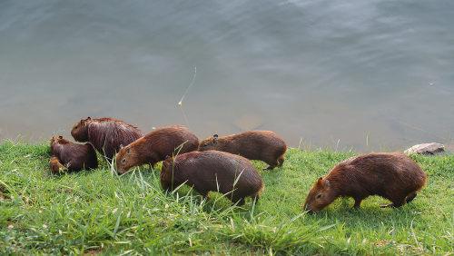 As capivaras podem ser encontradas em grandes grupos