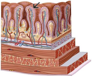 Epitélio de revestimento do intestino delgado. Note que existe apenas uma camada de células