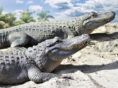 Os répteis precisam de fontes externas de calor para elevar sua temperatura corporal, por isso é comum vermos esses animais expostos ao sol