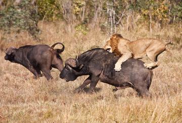 A predação é essencial para controlar o tamanho de uma população