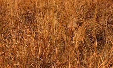 O leão tem o pelo marrom, que o ajuda a se misturar ao ambiente