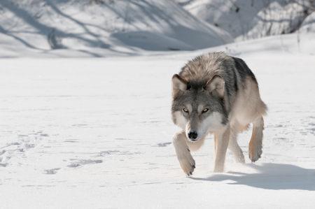 Lobos raramente atacam seres humanos