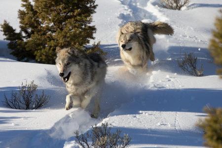 Lobos vivem em grupo