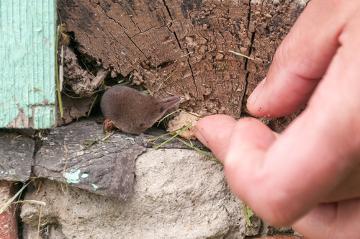 Observe como algumas espécies de musaranho são pequenas