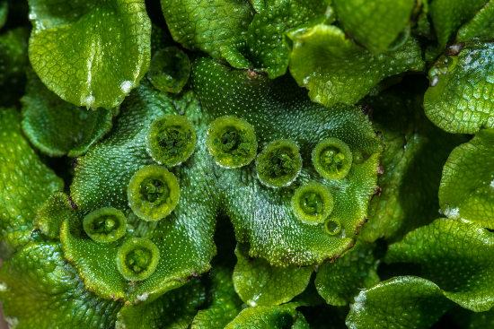 A Marchantia é um exemplo de hepática.