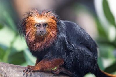 O mico-leão-de-cara-dourada atualmente está classificado como uma espécie em perigo