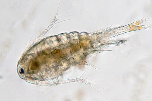 Alguns microscrustáceos fazem parte da composição do zooplâncton.