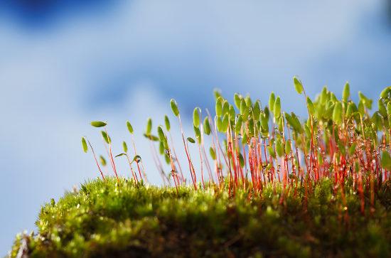 Os musgos são exemplos de briófitas, plantas que se destacam pela ausência de vasos condutores.