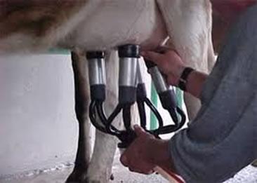 Chamamos de ordenha a retirada do leite das tetas da vaca. Na figura acima podemos observar a ordenha mecânica