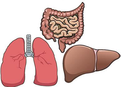 Nossos órgãos internos são formados por tecido de revestimento