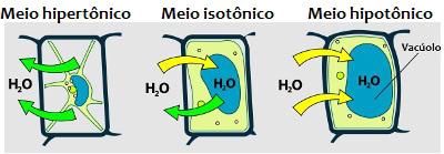 Analise a movimentação de água para dentro ou fora da célula nos diferentes meios *