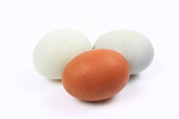 A cor das cascas dos ovos é uma característica determinada geneticamente
