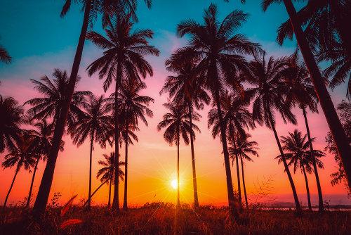 As palmeiras são plantas do grupo das monocotiledôneas.