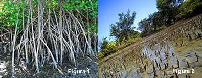 Figura 1: raízes escoras da planta mangue vermelho; Figura 2: pneumatóforos da planta mangue seriba