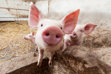 Como o porco alimenta-se de vegetais e animais, ele é considerado um animal onívoro