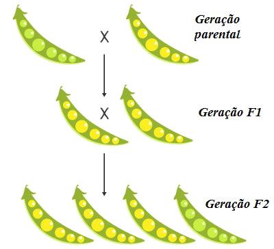 Observe que a semente amarela apareceu com maior frequência nos cruzamentos do que a verde