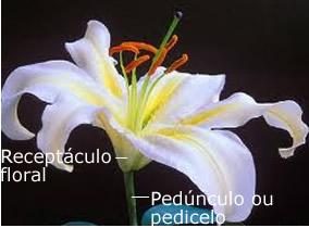 É no receptáculo floral que todos os elementos florais se encaixam