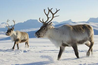 As renas fêmeas e machos possuem chifres