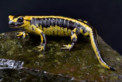 A salamandra é um exemplo de urodelo