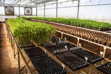 Observe o desenvolvimento de soja transgênica em uma estufa em Santa Helena de Goiás*