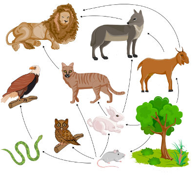 Na teia alimentar, é possível verificar várias cadeias alimentares interligadas