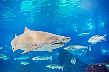 O canibalismo nos tubarões-mangona ocorre ainda no interior do útero