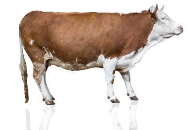 As vacas possuem cornos, e não chifres, como muitos pensam