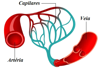 Artérias possuem paredes fortes. Já os capilares têm paredes muito finas. Nas veias, é possível observar válvulas
