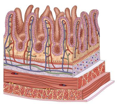As vilosidades aumentam a superfície de contato